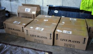 Recently, we received a delivery of several big boxes filled with healthy bare root hostas and other cuttings.