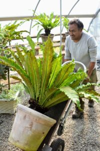 Many of the plants can be transported by hand truck. Here is Pete bringing in a bird's nest fern.