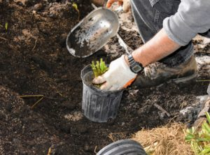 If planting bare roots, always do this before new growth starts. Hostas are low-maintenance plants that grow in hardiness zones 3 through 8. All varieties of hostas go dormant at the end of autumn and die back to the ground while resting.