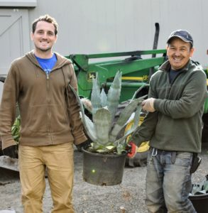 Ryan and Chhiring bring in one of the last agaves.