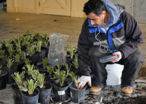 Carlos places one weed disk on the top of each pot.