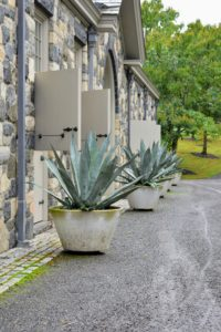 I love agaves and always have various specimens displayed around my farm during summer. I have several types of agave including these giant blue agaves behind my stable. Do you know... tequila is distilled from the sap of blue agave?