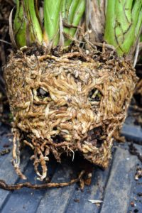 When removing a cymbidium, do not disturb the root ball. Ryan also removes as much of the old potting medium as possible.