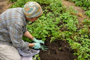 Laura manually begins digging for the potatoes. She feels for them underground – potatoes will be slightly cool to the touch.