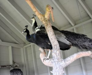 Or perch up high in their tree. While peafowl are ground feeders and ground nesters, they still enjoy being up at higher levels. In the wild, this keeps them safe from predators at night. My outdoor birds all have access to natural perches made from old felled trees here at the farm. It is important that they have a variety of perches upon which to roost.