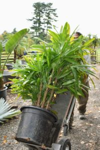 Here is Pete with a Lady palm. Lady palms have broad, dark green, fan-shaped foliage on tall stalks. They need to get east-facing exposure, out of direct sunlight, and thrive in comfortable indoor temperatures around 60-degrees to 80-degrees Fahrenheit.