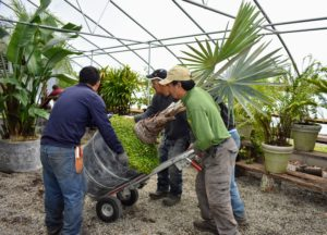 Next, the crew wheels in another large, very heavy potted palm, and moves it to the back of the greenhouse.