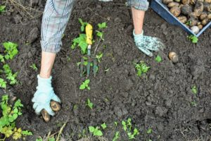 It's fun to dig around the soil and find multiple potatoes waiting to be picked.