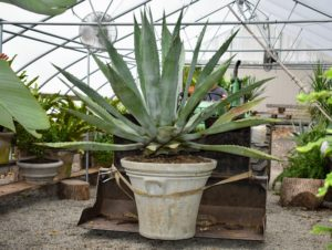 "Moving such a large potted plant requires strength, care, and the right equipment. An adjustable moving strap is tightened around the vessel, securing the pot to the bucket loader of the tractor. This agave is in an original ""Watts Pot"" made of limestone and concrete."