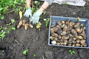 Laura helps by placing the potatoes in shallow crates, separated by color. An entire potato plant grows from just one potato eye, although when planting, always plant a piece of potato with at least two eyes to ensure germination.