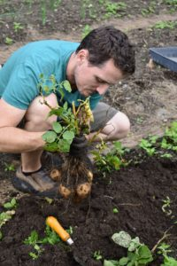 It's easy to see how the potatoes are connected to the plant at the root area. They're very easy to pull off, and often come loose by themselves while digging around them. Leave any green potatoes alone. When potatoes are exposed to light, they turn green, a sign the toxic substance called solanine is developing, which may cause illness if eaten in large quantities.