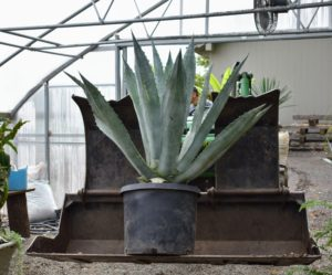 Here is another agave on its way inside. Agaves are so beautiful, but they should be kept in low traffic areas, as their spikes can be very painful.