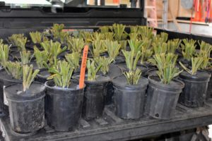 Here are some of the potted hostas as they're loaded onto our Polaris ATV. The goal in handling bare root plants is to maintain adequate moisture so they don't dry out.