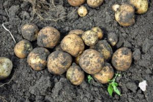 The plants were not planted too deeply – all the potatoes were buried within the top five-inches of soil. Every variety yielded a good amount of potatoes.