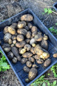 Don't leave harvested potatoes in the sun as excessive heat could cause them to cook. Just brush off as much soil as possible and let them dry in a cool place.