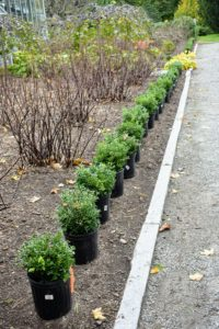 Ryan placed 23 small boxwoods to the left and another 23 to the right of the greenhouse entrance.