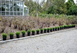 The shrubs are placed about a foot and a half from each other along the entire length of the bed. The dormant currant bushes are behind the row of boxwood.