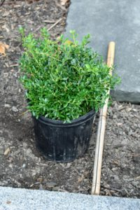 Every boxwood must be positioned perfectly, so the outdoor grounds crew cut a piece of bamboo to help space the plants as they are planted.