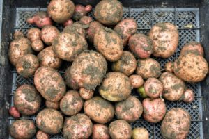 Many of these are Red Norland potatoes which produce medium to large tubers with smooth, thin, red skin and shallow eyes, and white flesh. These are known to be very flavorful.