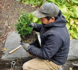Phurba carefully removes the boxwood from its pot and loosens the root ball just a bit.