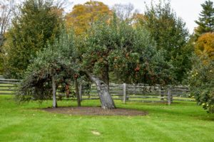 Not far is this ancient apple tree - there are still many apples on its branches.