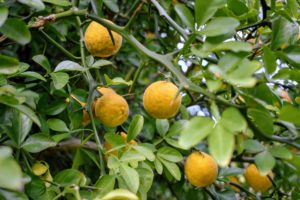 This ancient plant has been used for everything from livestock fencing to medicinal treatments. Today, the hardy citrus is most frequently grown as an unusual ornamental, adding an exotic look to many gardens.