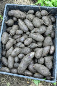 Some of the potatoes are grey to almost purple in color. Many of these are large fingerling shaped tubers with an excellent earthy flavor and waxy texture.