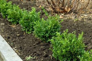 Here are the first several planted – it looks so beautiful already. Boxwood can grow in full sun and partial shade.