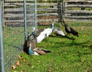 Because most of my peacocks and peahens have been raised here at the farm, they're all accustomed to the various noises – they are very curious animals. Here are most of the adults by the side of the fence just watching the many activities going on at the farm.