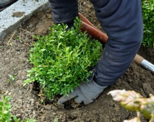 Phurba places the boxwood into the hole, and tamps down around the plant, backfilling with soil wherever necessary.