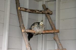This ladder perch is against a wall in the coop - it is also made from old wood found here at the farm.