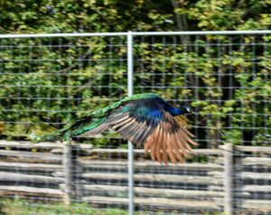 Here he one of he blue boys in flight. Peafowl are among the largest flying birds, but they can't go very far. In fact, most of their time is spent on the ground.