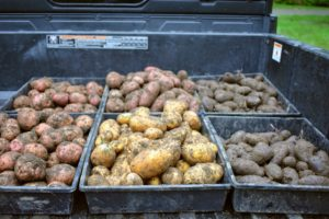 All the crates of potatoes are ready to go up to my flower room, where they will be stored until ready to cook.