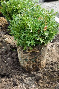 Buxus is a genus of at least 70-species in the family Buxaceae. It is a very versatile plant that provides strong shape and rich green color in winter and a nice frame for blooming flowers in summer.