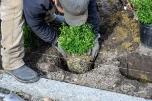 Boxwood shrubs have shallow root systems, so proper mulching after they are planted will help retain moisture and keep the roots cool.