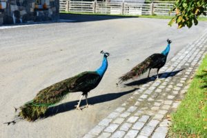 These peacocks are two-years of age – incubated and hatched right here at the farm. They can always be found together.