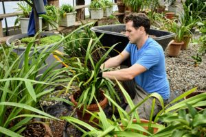 Ryan moves onto the next cymbidium ready to be divided and repotted.
