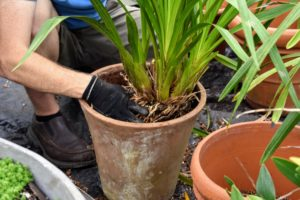 Ryan pots up another cymbidium. This is a perfect sized pot for this specimen - it will allow the pseudobulbs to grow for another two years before crowding its container.