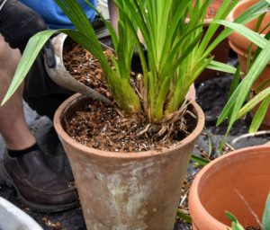 The potting mix should be about one-inch below the top of the pot, so none of it overflows when watering.
