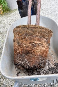 Among the signs that a plant is ready for repotting is when the roots are tightly packed within a pot. This root ball is definitely ready for more room.