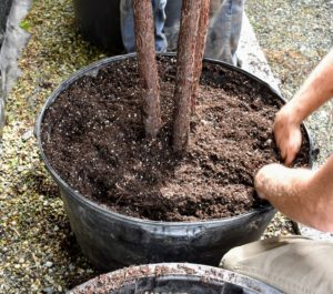 Once the tree is properly positioned, Ryan backfills the sides with more soil mix. The extra room at the top prevents soil from overflowing when watered.