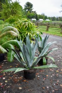 Blue agave plants lend themselves well to container growing since their roots don't mind being a bit crowded, but several of the plants have outgrown their pots and need transplanting.