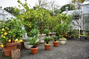 All citrus plants dislike abrupt temperature shifts and need to be protected from chilly drafts and blazing heaters. Consider the needs of the plants when deciding where to store them indoors.