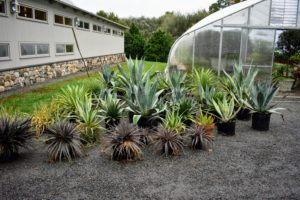 I have many, many agaves. Smaller specimens are kept in this hoop house, while the giant agaves are stored in another structure across from my vegetable garden.