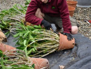 He gently runs the knife along the entire interior of the vessel. It's a good idea to repot orchids every year and a half to two years or once the canes have begun to overgrow the pot or the potting medium remains soggy and no longer drains properly.
