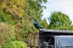 Peafowl are beautiful birds, but do not underestimate their power – they are extremely strong with very sharp spurs. Here is the other blue peacock atop the dump truck.