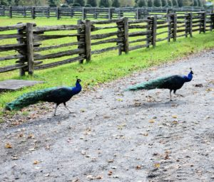 "Here is our ""dynamic peacock duo"" - walking the carriage roads."