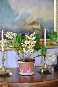This is Dendrobium 'Aussie chip' x. Dendronbium atroviolaceum 'Pygmy' x. Dendrobium atroviolacrum 'H&R'. This photo was taken last February - it looks great on this table in my foyer. Orchids are among my favorite flowers - all the vibrant colors and variations in shape and size make me so happy. What kinds of orchids do you have?