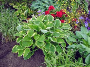 This hosta, 'Aureomarginata', features green leaves with a hint of blue, and thin, gold margins. The leaves are slightly puckered giving the plant a more textured appearance. (Photo courtesy of Pioneer Gardens)