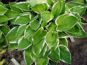 This variety is called 'Francee' with dark green, heart-shaped leaves and narrow, white margins. Another vigorous grower, this hosta blooms in mid to late summer. (Photo courtesy of Pioneer Gardens)